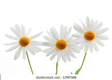 Daisy flowers isolated on white background