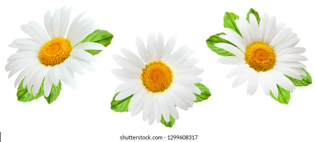 Daisy flowers isolated on white background as package design element