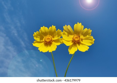 Daisy flowers with lens flare