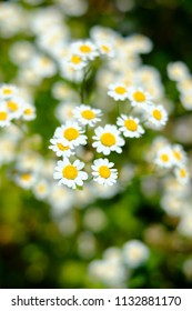Daisy flowers in a madow