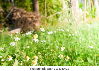 Daisy flowers on the field. Sunny day background