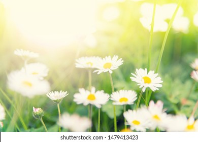 Daisy flowers on the meadow