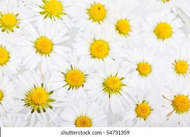 Daisy flowers on white background studio shot