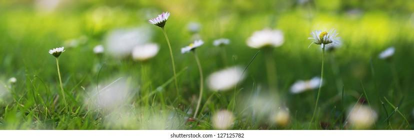 daisy flowers panorama