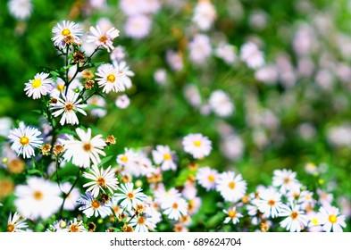 Daisy flowers in park bokeh background