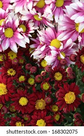 Daisy flowers - red and yellow flowers
