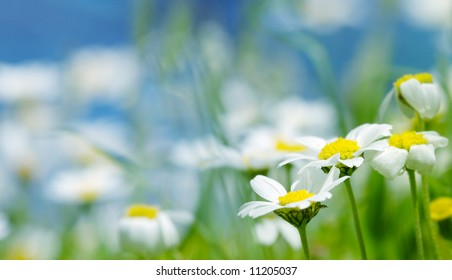 Daisy flowers (shallow DOF); spring series B