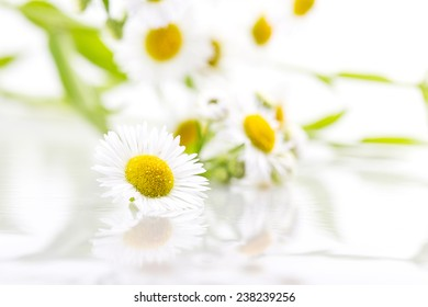 daisy flowers solated on white background