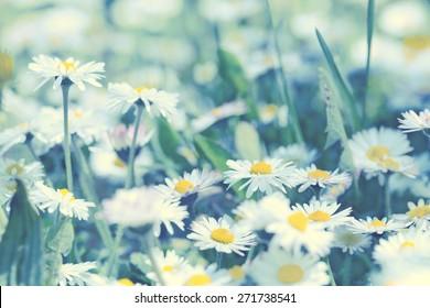 Daisy flowers - spring daisy flowers