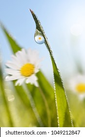 Daisy with fresh green spring grass with dew drops closeup.Spring theme.Nature background.