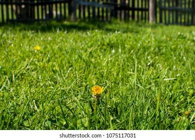 Daisy in green field