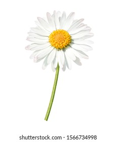 daisy with green stem, isolated