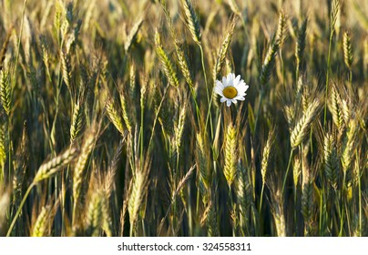 daisy growing in the agricultural field on which grow up cereals