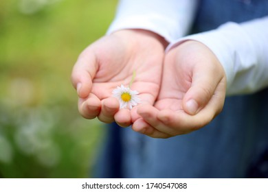 daisy in the hand of a child
