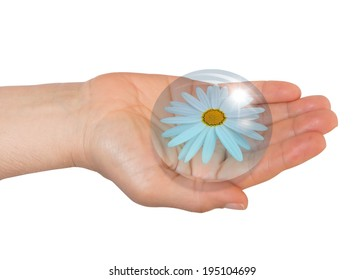Daisy in hands with waterdrop on white background