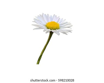 Daisy Intensive Isolated. The white yellow flower and green stalk of daisy a.k.a. bruisewort, woundwort in the white background.
