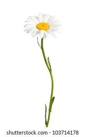 Daisy isolated on white background