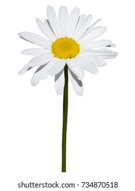 Daisy isolated on white background. A daisy with white petals and stem isolated and cut out on a white background.
