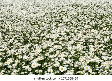 Daisy (Leucanthemum vulgare) field