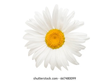 Daisy macro isolated over a white background