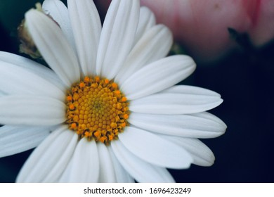 daisy or Marguerite flower for mother day, happy birthday or all day celebration