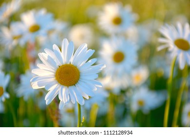 Daisy in meadow, midsummer flowers