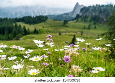 Daisy meadow and mountains in the background. Beutiful Landscape in Italian Dolomites Mountains. Daisies Flowers on the mountains. White mountain flowers. Italian Dolomites landscapem. Mountain Lake