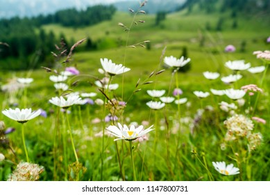 Daisy meadow and mountains in the background. Beutiful Landscape in Italian Dolomites Mountains. Daisies Flowers on the mountains. White mountain flowers. Italian Dolomites landscape. Mountain Lake