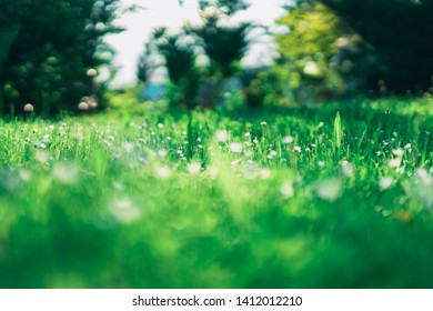 A Daisy Meadow in the Spring. Surrounded by a Bokeh of lush Greenery. A Background of Trees and Shrubs.