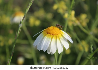 Daisy in the middle of nature with bee working