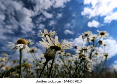 daisy natural blossom plant garden field - Shutterstock ID 1444559813