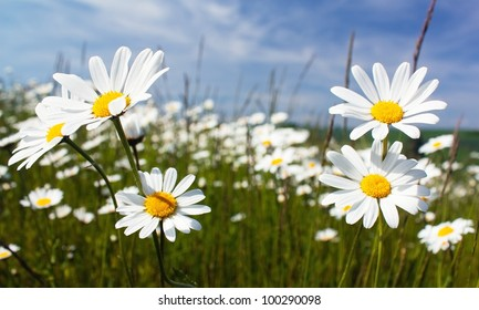 daisy on meadow