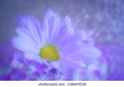 Daisy on miror purple reflections