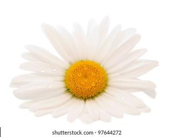 daisy on a white background