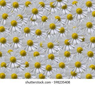 Daisy Pattern. White yellow flower pattern, wallpaper.