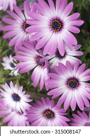 Daisy with purple edging