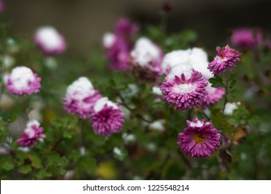 Daisy purple violet pink flowers covered with snow. Winter is coming. Snowfall in the garden.