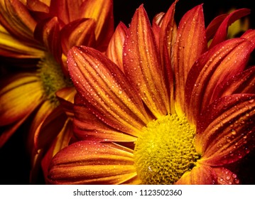 Daisy, red and yellow in close up with black background