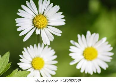 The daisy is a species of the daisy family