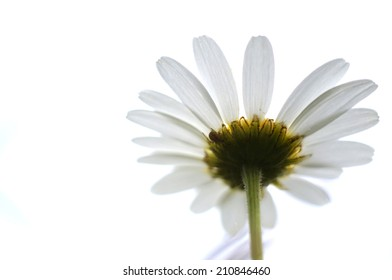 Daisy with a spider underneath its petals