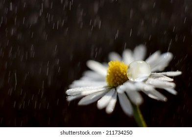 Daisy in storm with big drop on its petals