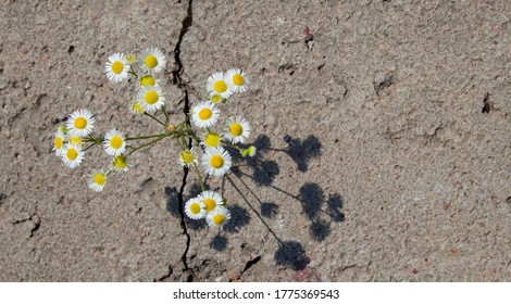 daisy through a crack in the asphalt top view. The concept of the power of nature and ecology.copyspace for text.