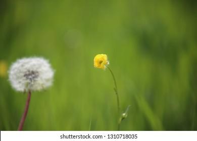 daisy tulip flower