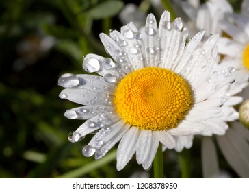 Daisy with water droplets, up close, abstract image, good depth of field