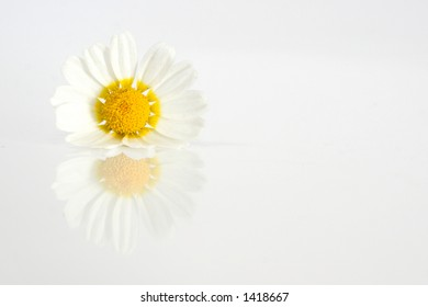 Daisy a white background with reflection