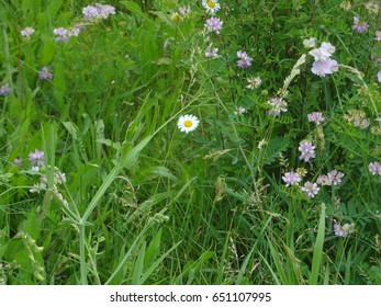 a daisy, wild orchids, and other flowers in a field in East Tennessee, USA.