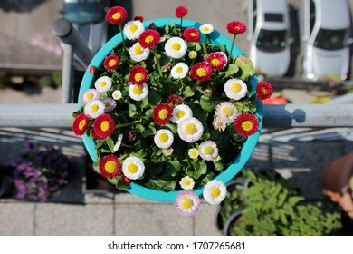 Daisys (Bellis perennis) in plant pot from above on a balcony close up view on blossoms