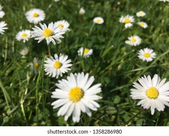 Daisys in the Field