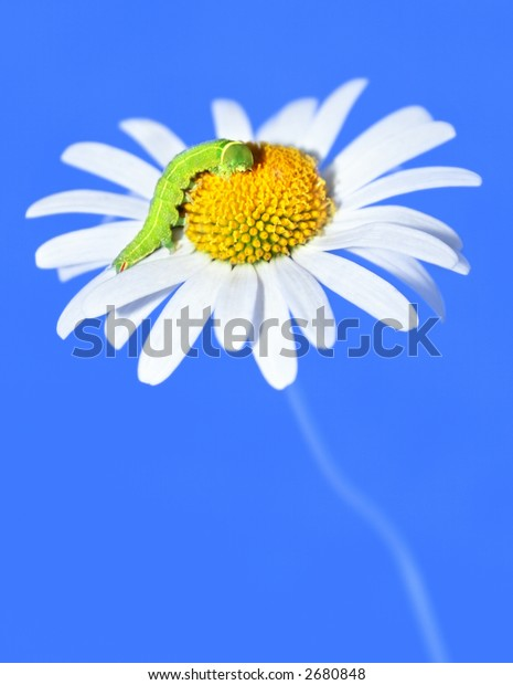 daisywheel with green caterpillar on turn blue background