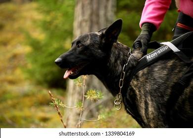 RÄTTVIK DALARNA/SWEDEN - SEPTEMBER 9 2018: Dutch shepherd wearing a non-stop pulling harness and herm sprenger chain collar